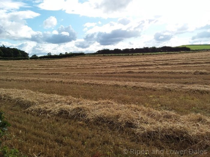 Barley field harvested